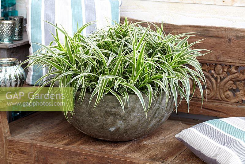 gap gardens chlorophytum comosum 39 ocean 39 image no 0347196 photo by visions. Black Bedroom Furniture Sets. Home Design Ideas