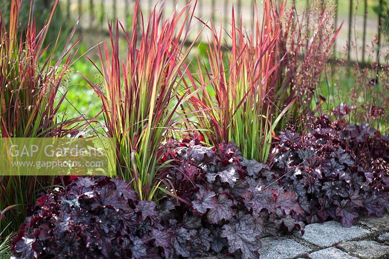 gap gardens imperata cylindrica 39 red baron 39 and heuchera. Black Bedroom Furniture Sets. Home Design Ideas