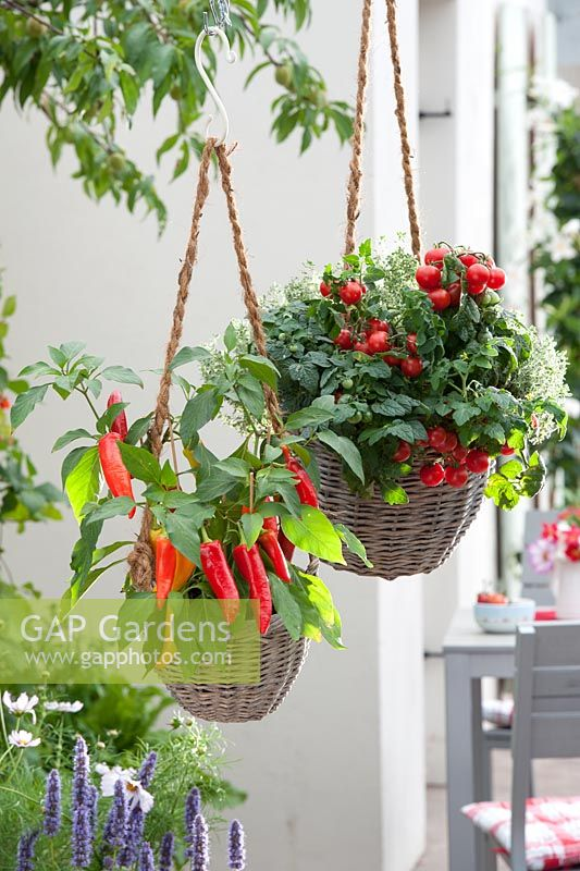 Cherry tomatoes, chilies and thyme growing in hanging baskets