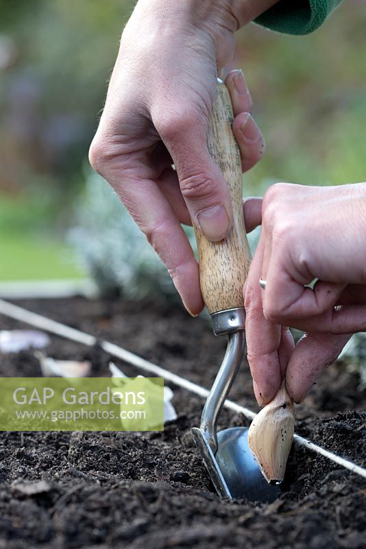 Step by step - planting garlic 'early purple wight' in raised bed - planting cloves