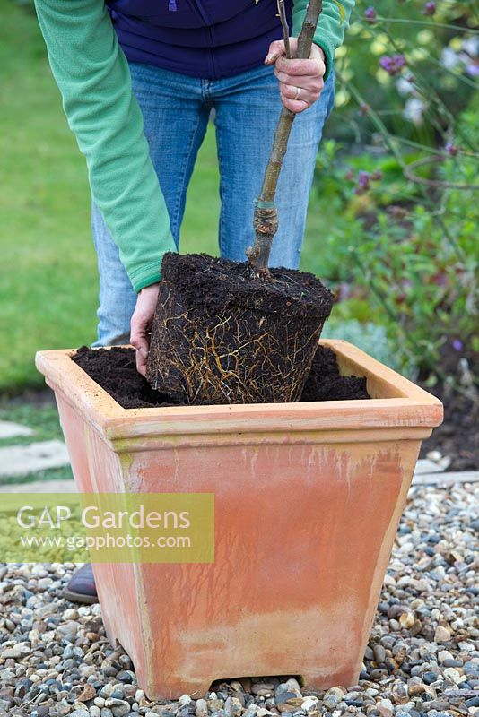 Planting Apple 'Egremont Russet' in container - lowering root ball into pot