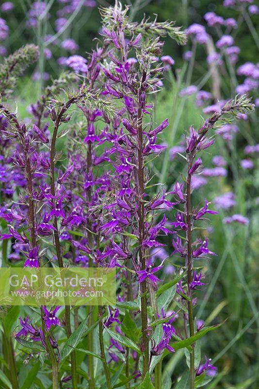 Gap Gardens Lobelia X Speciosa Vedrariensis Image No 0352536