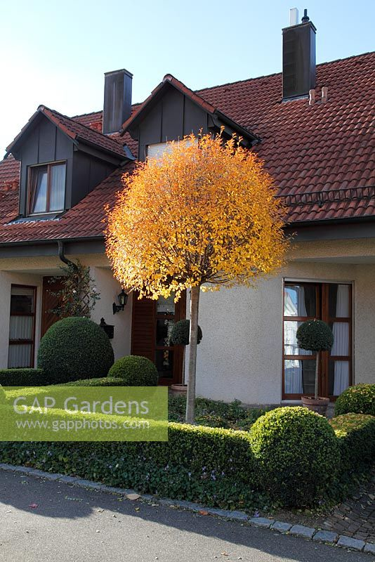 gap gardens prunus fruticosa 39 globosa 39 and clipped buxus sempervirens in front garden image. Black Bedroom Furniture Sets. Home Design Ideas