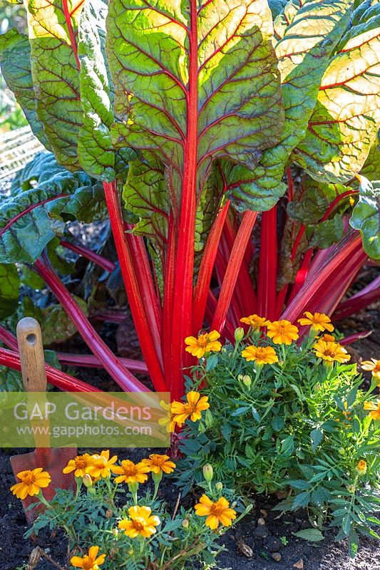 Beta vulgaris - Ruby or Swiss chard planted with tagetes