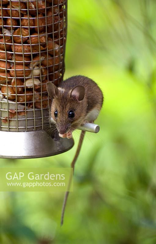 Wood mouse on peanut bird feeder - Apodeus sylvaticus