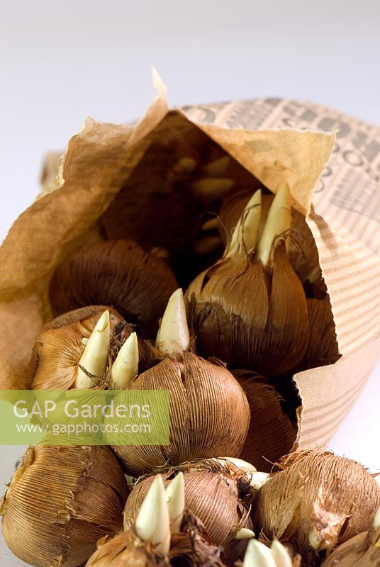 Crocus corms in brown paper bag
