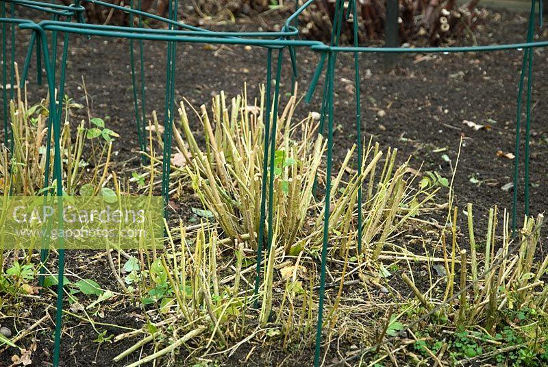 how to cut back perennials