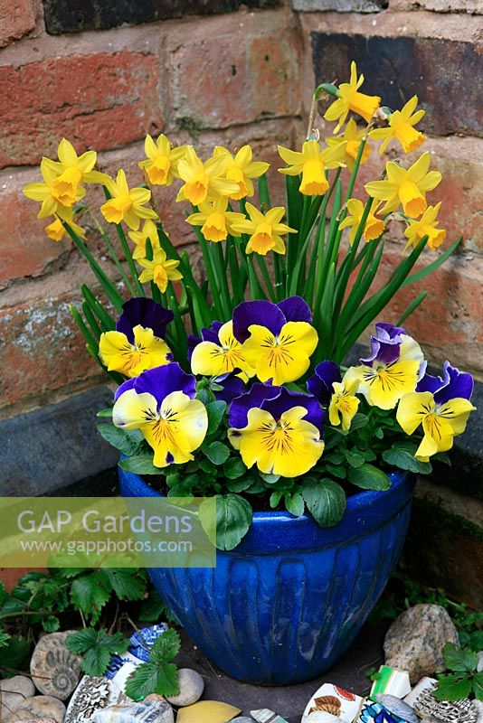 Blue and yellow themed Spring  pot against a warm wall. Dwarf daffodils, Narcissus 'Tete-a-tete' with Pansies, Viola x wittrockiana 'Morpheus' in a blue glazed pot with broken crockery around the base