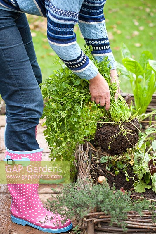 Step by step of transplanting parsley - Woman digging parsley out of the bed.