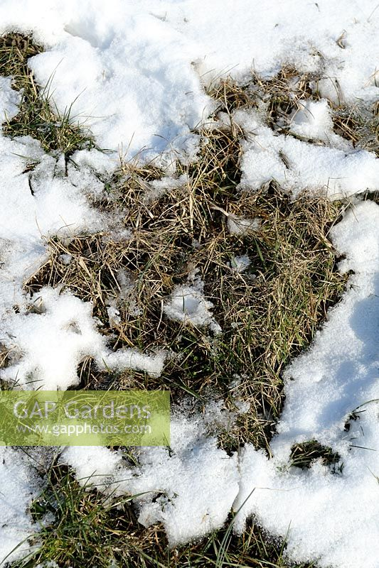 Grass damaged with snow