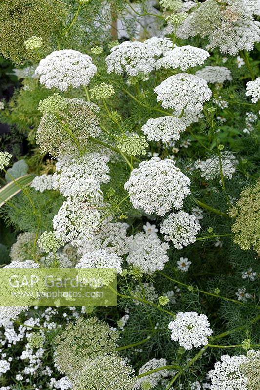 Ammi majus - Bishop's Weed