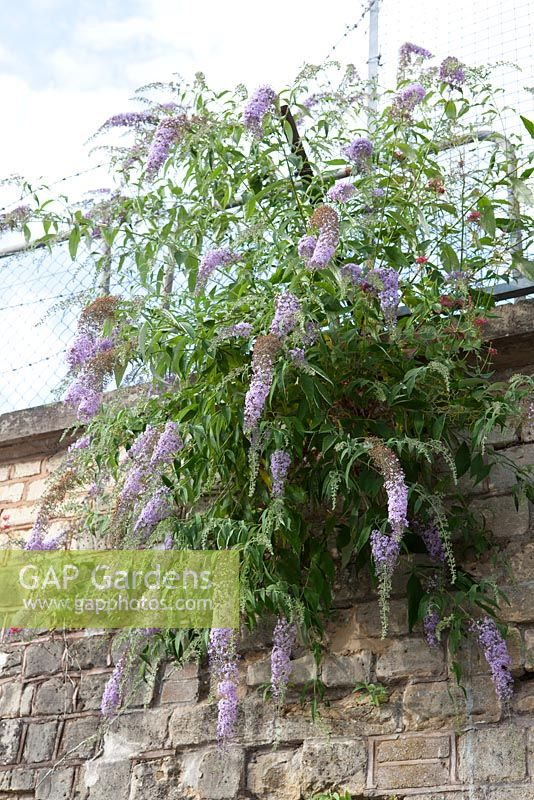 Buddleja davidii - Buddleia growing out of a wall at Stroud Railway Station.