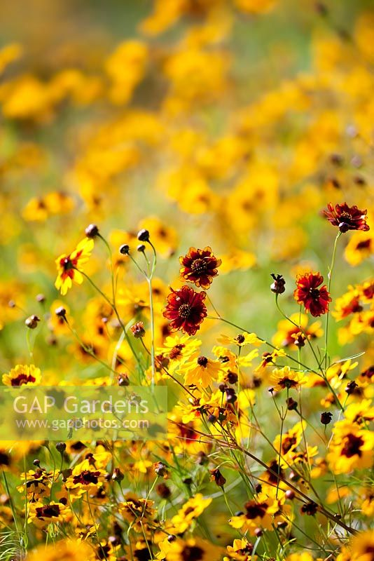 Coreopsis tinctoria - meadow at RHS Gardens, Wisley
