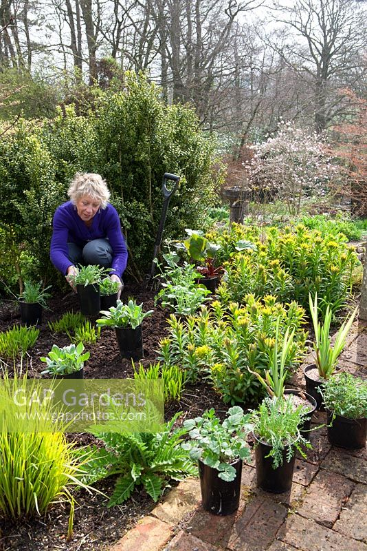 Carol Klein planting out summer flowering plants into a gap in the border. Achillea 'Fanal' syn. 'The Beacon', Rudbeckia fulgida var. deamii, Iris pseudacorus and rheum