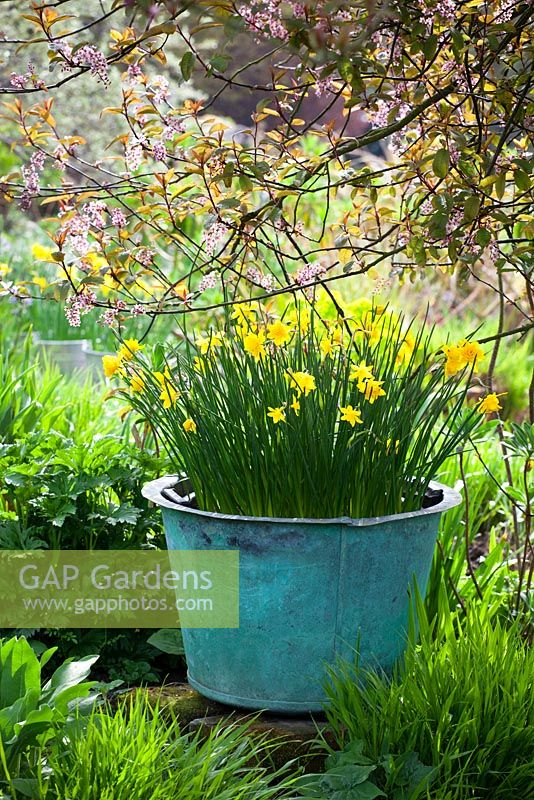 Narcissus jonquilla 'Flore Pleno' in a large container at Glebe Cottage in spring. Also known as Narcissus x odorus Plenus