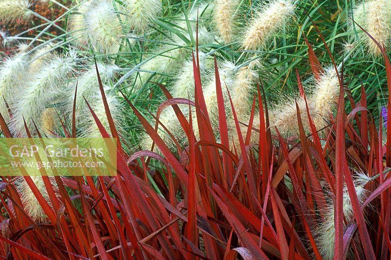 Gap gardens imperata cylindrica rubra 39 red baron 39 and - Imperata cylindrica red baron ...