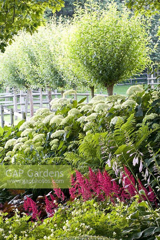 Hortensie Annabell gap gardens standards astilbe and hydrangea hortensie annabelle