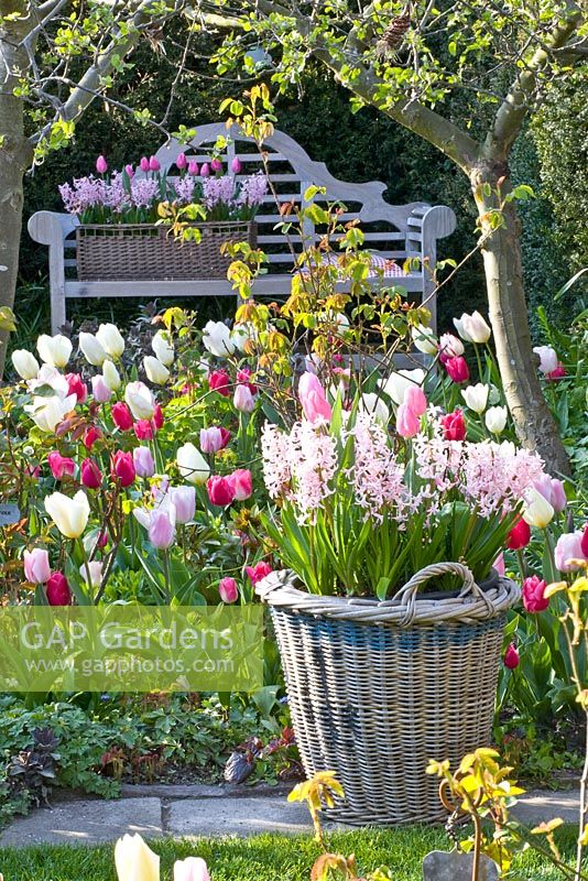Wooden bench in Spring garden. Tulipa 'Jazz', 'Synada Amor', 'Page Polka', 'Christmas Dream' and 'Flaming Purissima'