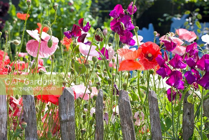 Lathyrus odoratus and Papaver rhoeas 'Shirley' growing near chestnut fencing