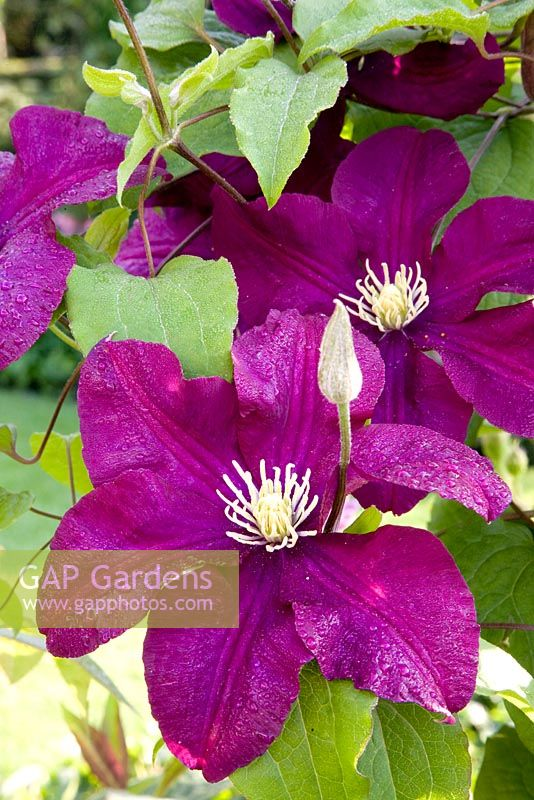 gap gardens clematis 39 warszawska nike 39 image no 0367052 photo by elke borkowski. Black Bedroom Furniture Sets. Home Design Ideas