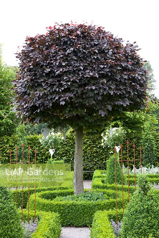 fagus sylvatica purpurea latifolia halve parasol. Black Bedroom Furniture Sets. Home Design Ideas