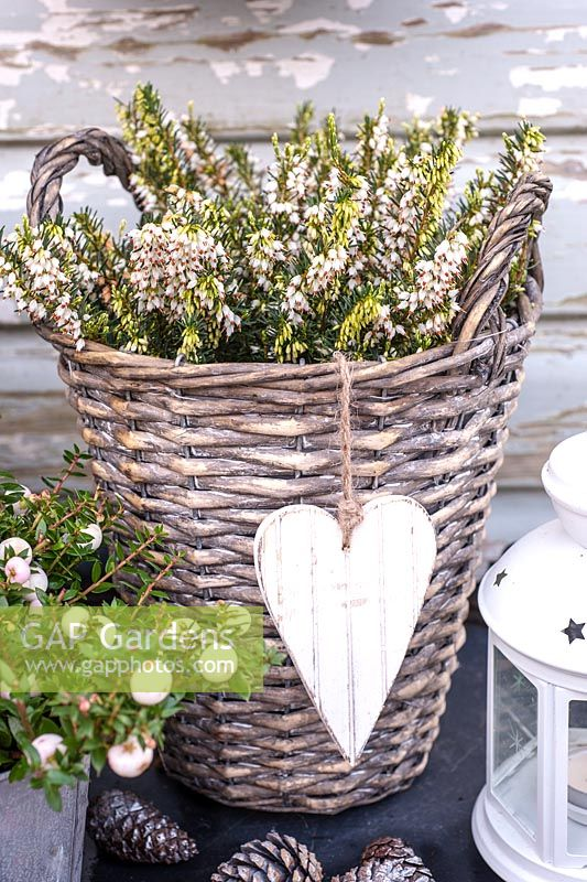 Erica carnea 'Winter Snow' in willow container with white wooden heart