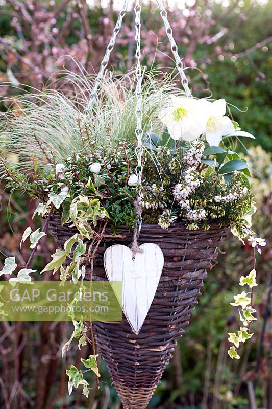 White Winter hanging basket - Erica carnea 'Winter Snow', Carex comans 'Frosted Curls', Pernettya mucronata 'Alba' and Hedera