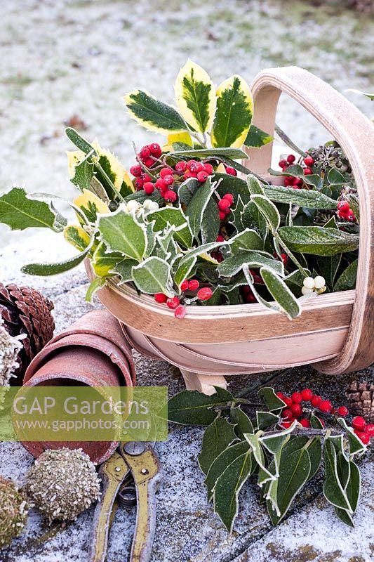 Frosted Christmas foliage and berries collected  in trug