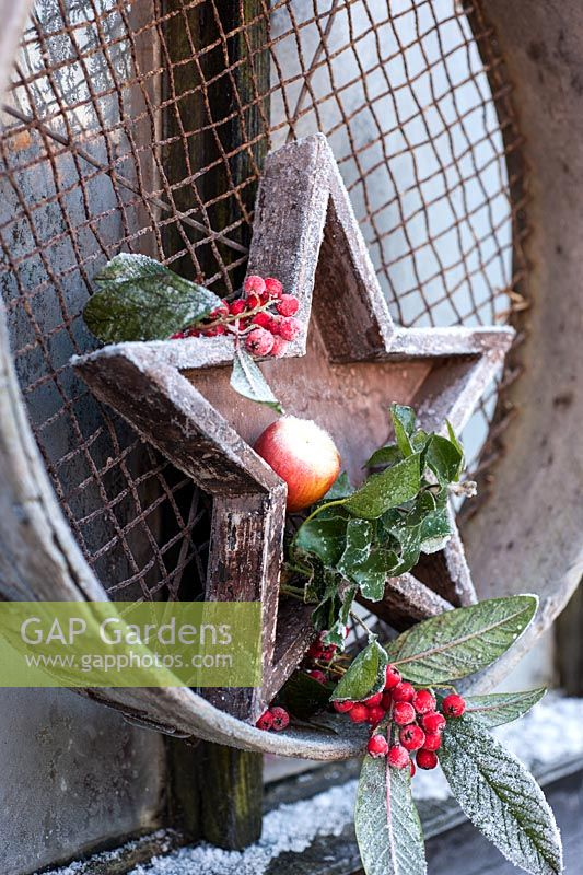 Frosty wooden star with berries, Hedera and apple displayed in garden sieve