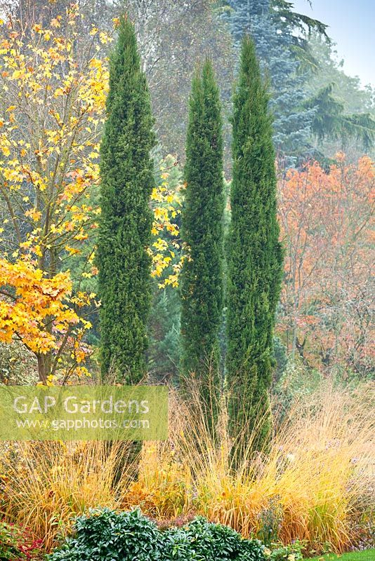 GAP Gardens - Cupressus sempervirens \'Totem Pole\' in Autumn mixed ...
