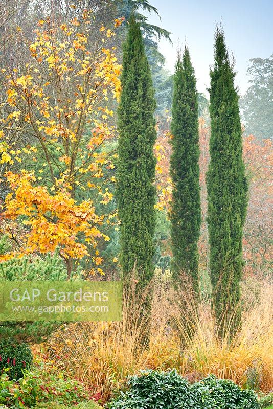 GAP Gardens - Cupressus sempervirens \'Totem Pole\' with Acer x ...
