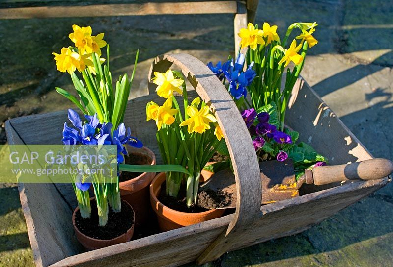 Pots of Narcissus 'Tete a Tete' and Iris in wooden trug