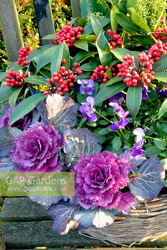Container planting of Skimmia, Brassica and Viola