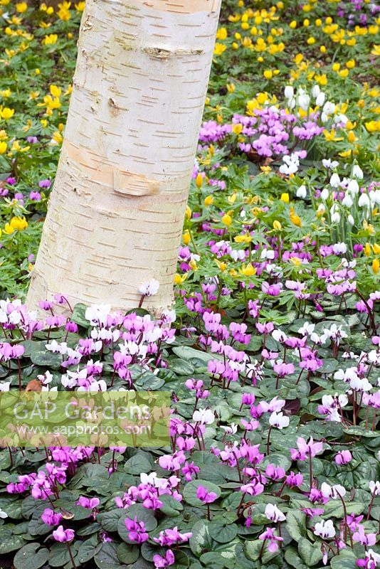 Betula underplanted with Cyclamen coum and Eranthis hyemalis