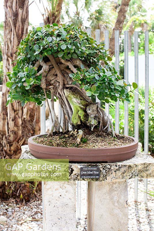 Ficus Microcarpa G Stock Photo By Amy Vonheim Image 0370949