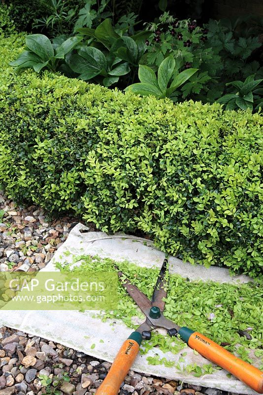 Pruning new growth on low Buxus hedge using garden shears and cloth to collect cuttings