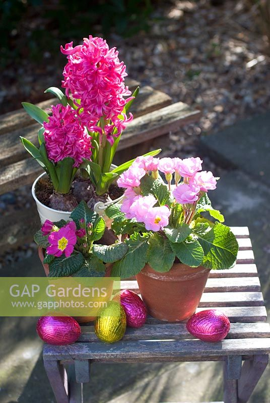 Easter eggs in garden with pots of pink hyacinth and polyanthus