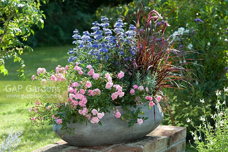 Planter with Rosa 'The Fairy', Penisetum 'Rubrum', Lavandula and Caryopteris H. Blue