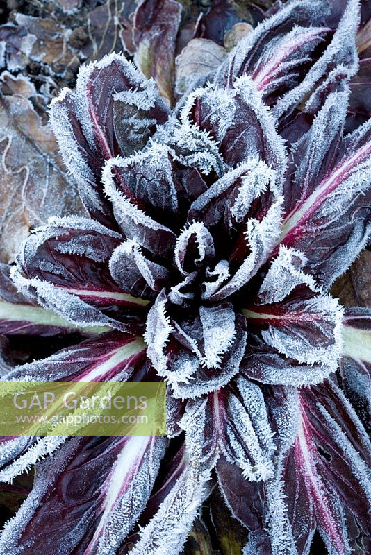 Cichorium intybus 'Rossa di Treviso' - Hoar frost on Chicory