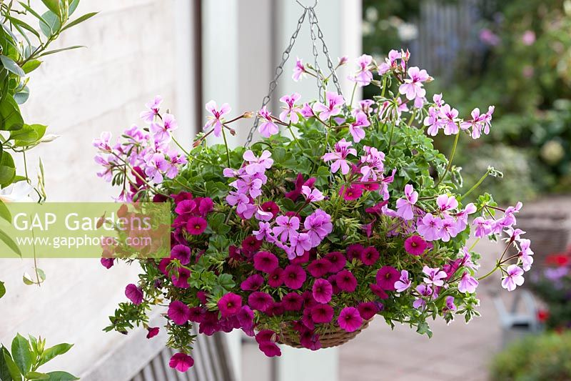 Pelargonium and Petunia Celebration Purple Rain