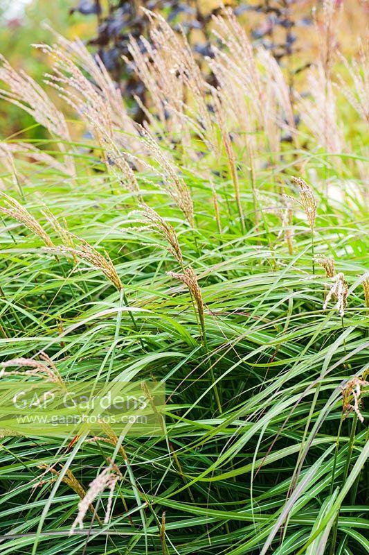 Miscanthus Sinensis Yakushima Dwarf Rhodds Farm Kington Herefordshire Uk