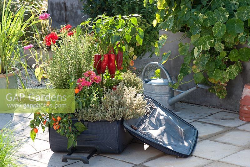 Suitcase planted with Pepper plant, Zinnia, Thymes and Lemon Grass