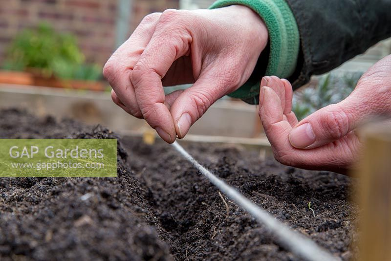 Step by Step planting of Carrots 'Purple Haze'