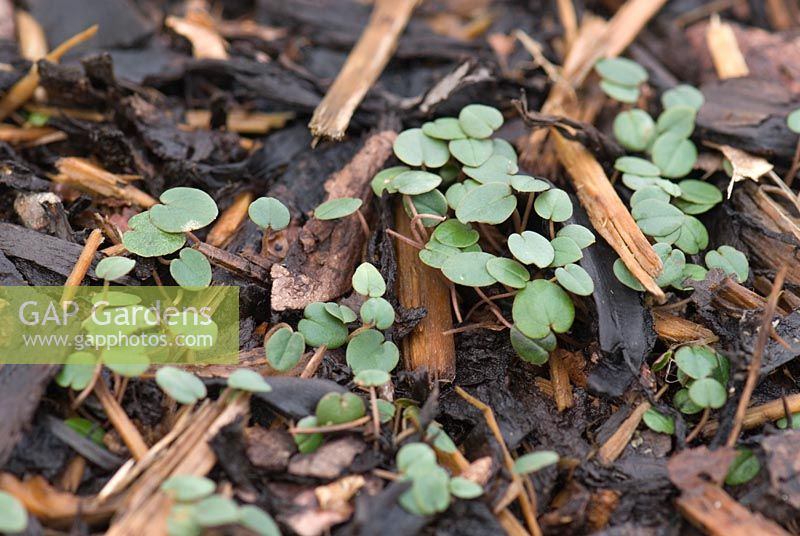Cyclamen coum seedlings