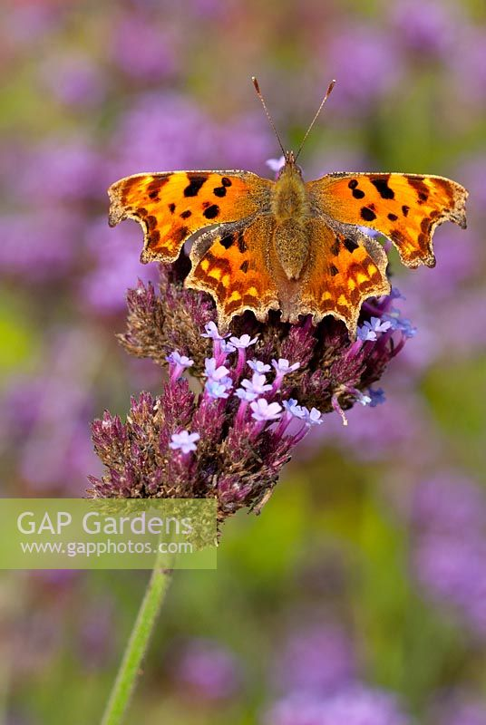 Comma Butterfly (Polygonia c-album) on Verbena bonariensis.