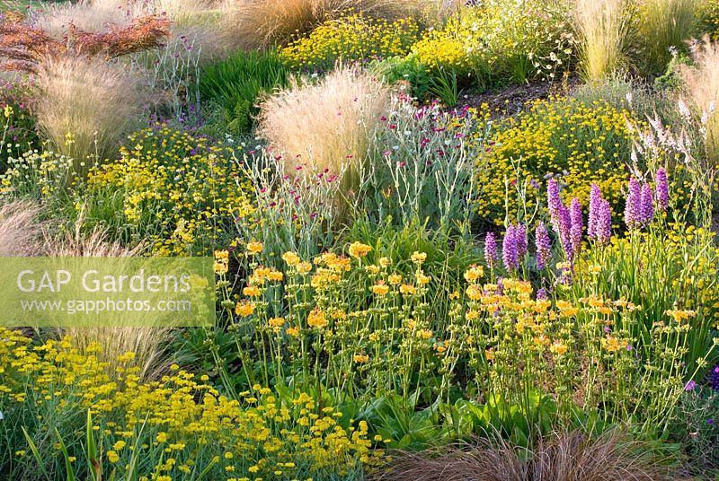 Naturalistic planting of Anthemis tinctoria 'Dwarf form', Primula x beesiana, Dactylorhiza x grandis 'Blackthorn hybrid' and Stipa tenuissima with Lychnis coronaria - Wildside garden