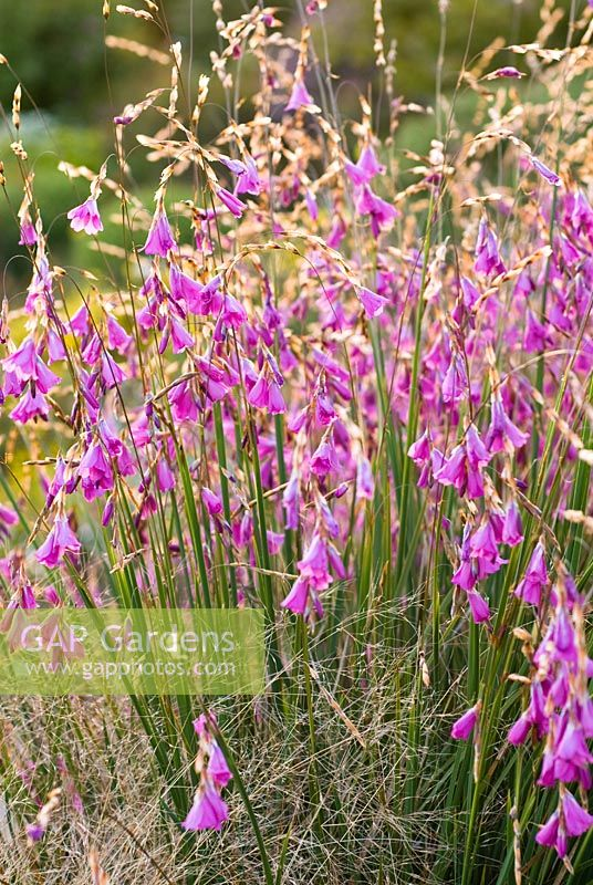 Dierama 'Wilside hybrid' - Angel's Fishing Rod, Wand Flower   - Wildside garden