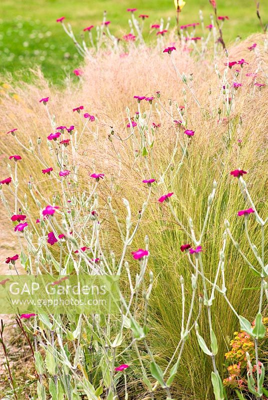 Lychnis coronaria - Rose Campion and Stipa tenuissima - Spear Grass - Wildside garden