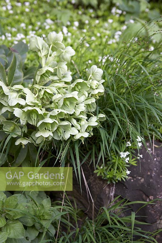 Gap gardens helleborus foetidus with galium odoratum for Grasses planting scheme