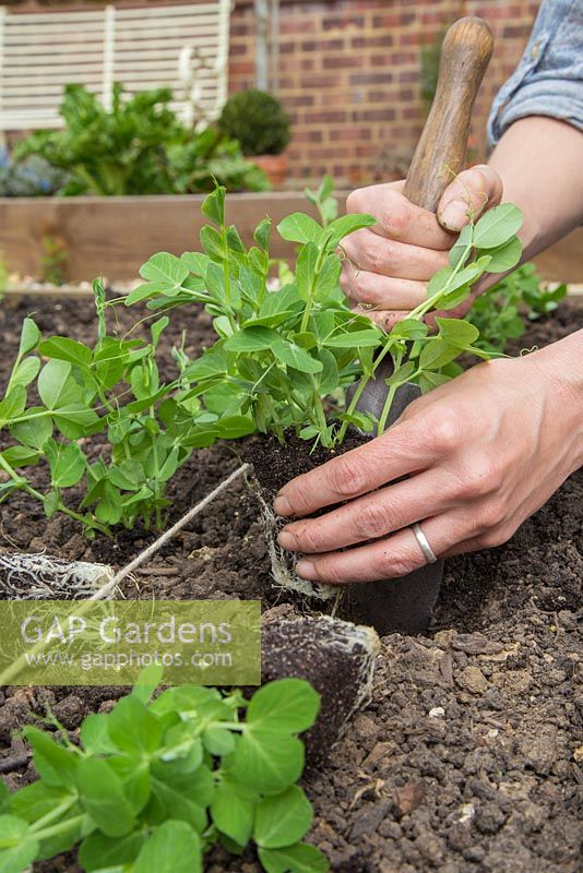 Step by Step planting of Pea 'Kelvedon Wonder'